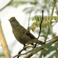 Thick-billed Warbler Acrocephalus aedon