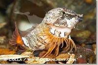 ...Image 13730, Grunt sculpin.  Grunt sculpin have evolved into its strange shape to fit within a g