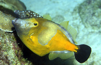 Cantherhines macrocerus, American whitespotted filefish: aquarium