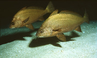 Umbrina canariensis, Canary drum: fisheries