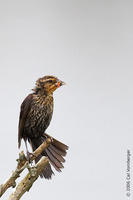 Image of: Agelaius phoeniceus (red-winged blackbird)