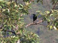 Blackish Cuckooshrike - Coracina coerulescens