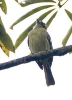 Yellow-margined Flycatcher - Tolmomyias assimilis