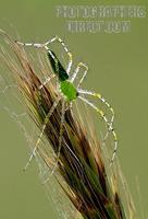 Green Lynx Spider stock photo