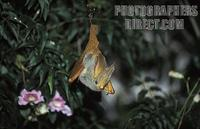 ...Yellow winged bat ( Lavia frons ) often emerge before dark to hunt invertebrates , Queen Elizabe
