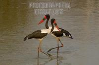 Saddle billed Storks in waterhole stock photo