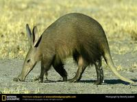Photo: Aardvark sniffing the ground