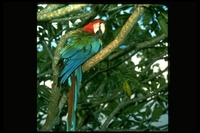 : Ara chloroptera; Red And Green Macaw