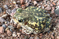 : Scaphiopus couchii; Couch's Spadefoot Toad