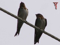 Pacific Swallow(Hirundo tahitica)