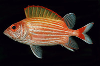 Sargocentron ensifer, Yellow-striped squirrelfish: fisheries