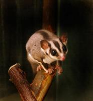 Image of: Petaurus breviceps (sugar glider)