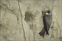 Riparia riparia - Bank Swallow