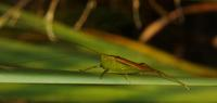 Image of: Conocephalus (smaller meadow grasshoppers)