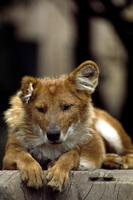 Cuon alpinus - Asiatic Red Dog