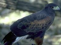 Image of: Parabuteo unicinctus (Harris's hawk)