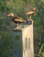 Black-bellied Whistling-Duck (Dendrocygna autumnalis) photo