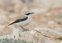 Northern Wheatear (Oenanthe oenanthe) photo