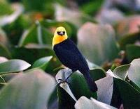 * Yellow Hood Blackbird
