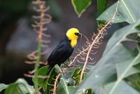 Yellow Naped Oriole