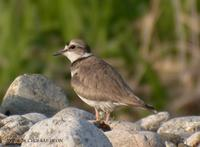 Long-Billed Linged Plover Charadrius placidusus 흰목물떼새