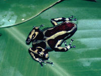 : Dendrobates auratus; Green And Black Dart-poison Frog