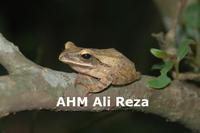 : Polypedates leucomystax; Common Tree Frog