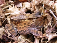 : Proceratophrys boiei; White-faced Horned Frog