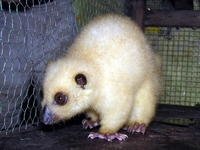: Phalaneger orientalis; Northern Common Cuscus