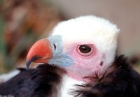 : Trigonoceps occipitalis; White-headed Vulture