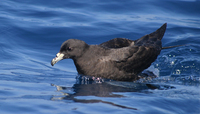 Fig. 1. Black Petrel (also known as Parkinson's Petrel) Procellaria parkinsoni