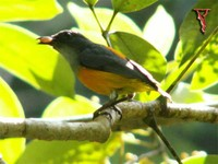 Orange-bellied Flowerpecker(Dicaeum trigonostigma)