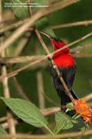 Crimson Sunbird (Male) Scientific name - Aethopyga siparaja