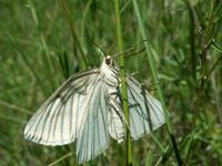 Siona lineata - Black-veined Moth