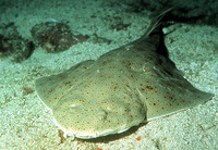 Squatina californica, Pacific angelshark: fisheries