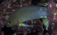 Pseudochromis polynemus, Longfin dottyback: