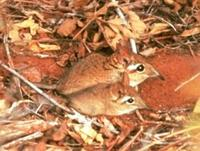 Image of: Elephantulus rufescens (East African long-eared elephant-shrew)