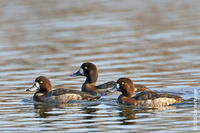 Image of: Aythya affinis (lesser scaup)