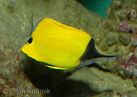 Forcipiger longirostris - Big Long-nosed Butterflyfish