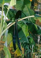 Photo: A Princess Stephanie's bird of paradise