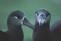 Black-footed Albatross (Phoebastria nigripes) photo