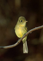 Pacific-slope Flycatcher (Empidonax difficilis) photo