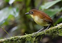 Yellow-breasted Antpitta (Grallaria flavotincta) photo