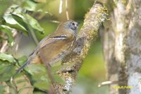 Variable Antshrike - Thamnophilus caerulescens