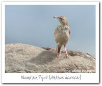 Mountain Pipit - Anthus hoeschi