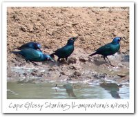 Cape Glossy-Starling - Lamprotornis nitens