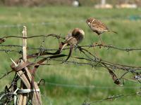 Tree sparrows Passer montanus