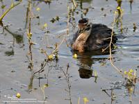Little Grebe (immature)