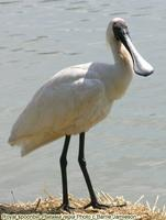 Royal spoonbill, Plataela regia, Queensland, February 2005. Photo © Barrie Jamieson