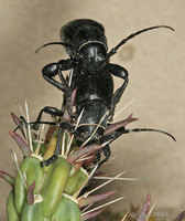 : Moneilema sp.; Cactus Long-horned Beetle